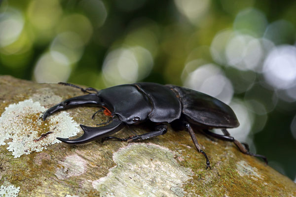 Giant Stag Beetle (Dorcus ritsemae)