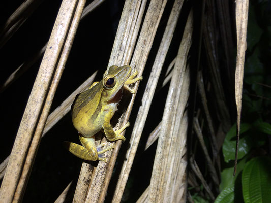 Four-lined Tree Frog (Polypedates leucomystax)