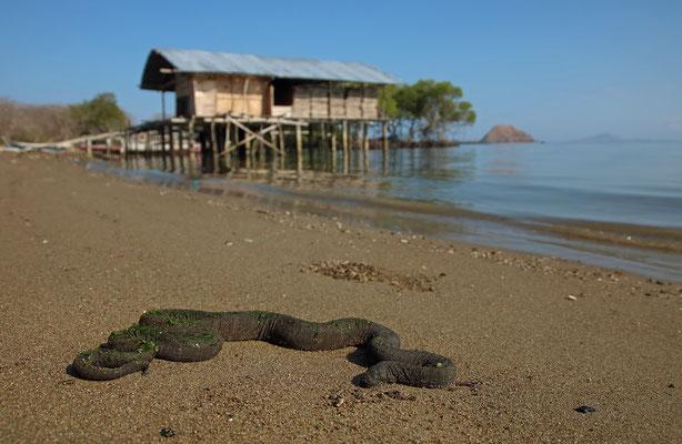 Marine File Snake (Acrochordus granulatus)