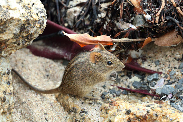 ...and Four-striped Grass Mice (Rhabdomys pumilio) foraging below.