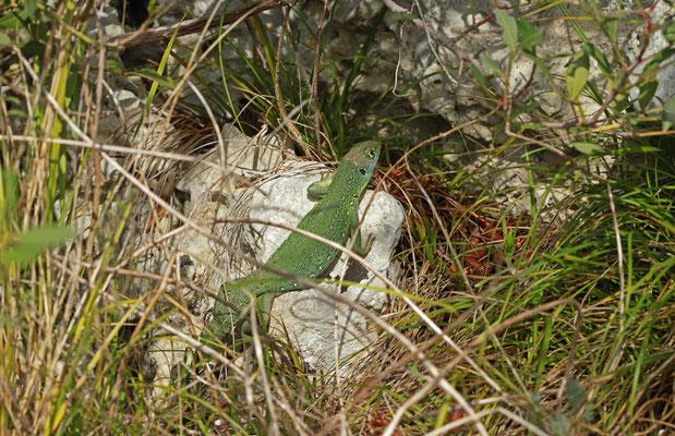 Western Green Lizard (Lacerta bilineata) basking.