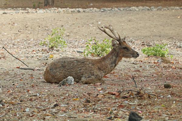 Timor Rusa Deer (Cervus timorensis)
