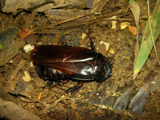 Wood Eating Roach (Panesthia angustipennis)