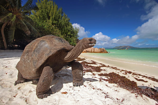Aldabra Giant Tortoise (Aldabrachelys gigantea), in the afternoon they like to come to the beach and cool off in the surf or enjoy a cooling breeze.