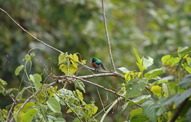 Rwenzori Double-collared Sunbird (Cinnyris stuhlmanni graueri)