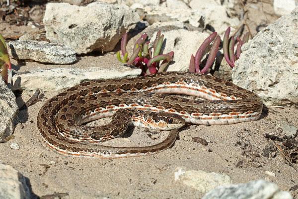 Spotted Skaapsteker (Psammophylax rhombeatus)