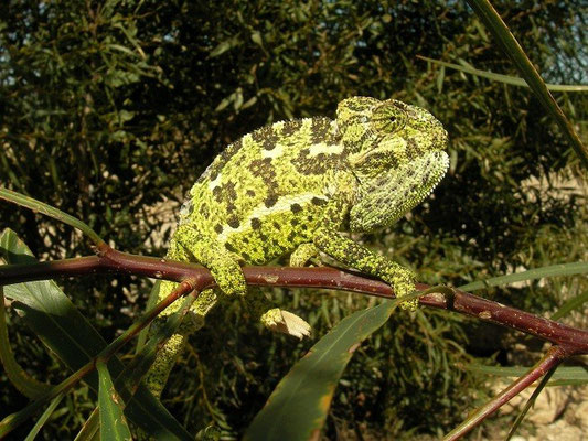 Mediterranean Chameleon (Chamaeleo chamaeleon), Antalya, Turkey, February 2012