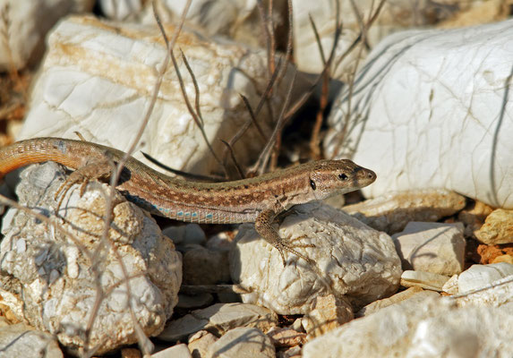 Pori Wall Lizard (Podarcis levendis), Pori, Greece, August 2017