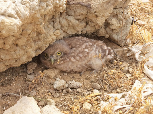 Little Owl Chick (Athene noctua) next to a rock Laura almost flipped.