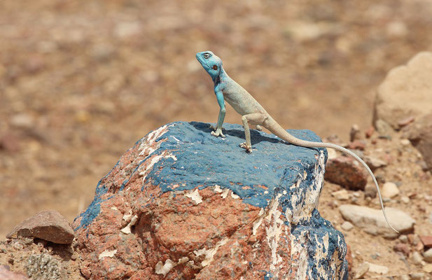 Sinai Agama (Pseudotrapelus sinaitus) male hiding by perching on a blue rock.