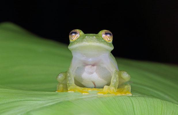 Northern Glass Frog (Hyalinobatrachium viridissimum)