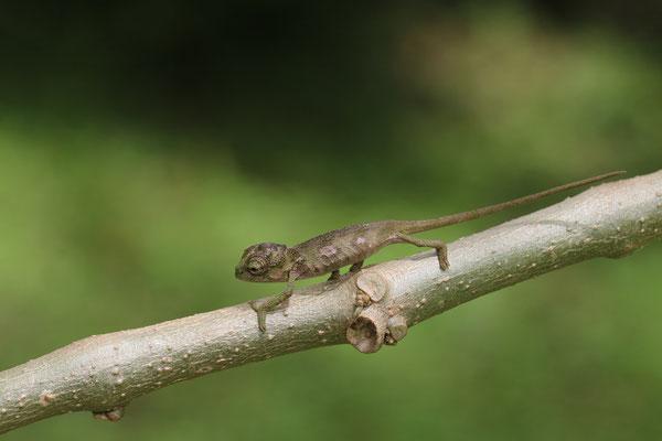 Rwenzori Plate-nosed Chameleon (Kinyongia xenorhina) juvenile © Jelmer Groen