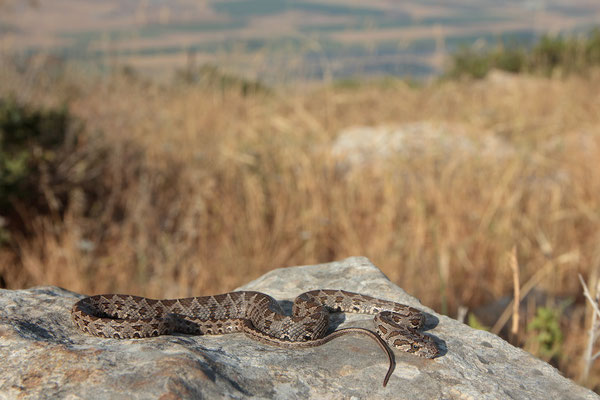 Coin-marked Snake (Hemorrhois nummifer)