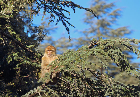 Barbary Macaque (Macaca sylvanus) enjoying the sun.