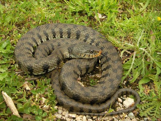 Grass Snake (Natrix helvetica sicula), Calabria, Italy, April 2014