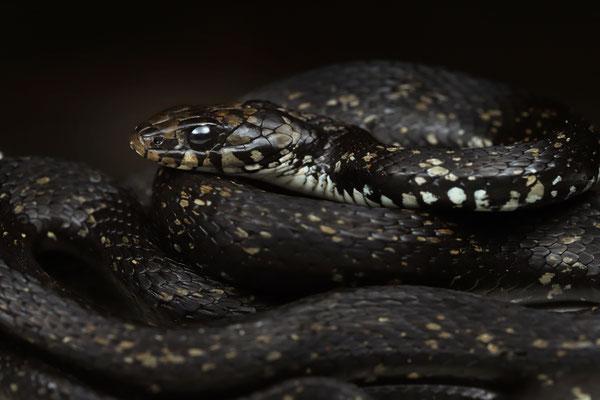Milos Grass Snake (Natrix natrix schweizeri)