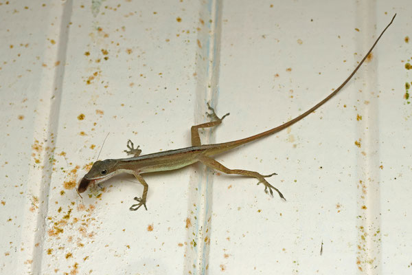 Slender Anole (Anolis limifrons) with cockroach prey.