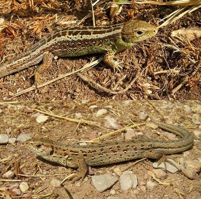 Sand Lizard (Lacerta agilis bosnica), Biogradska, Montenegro, July 2012