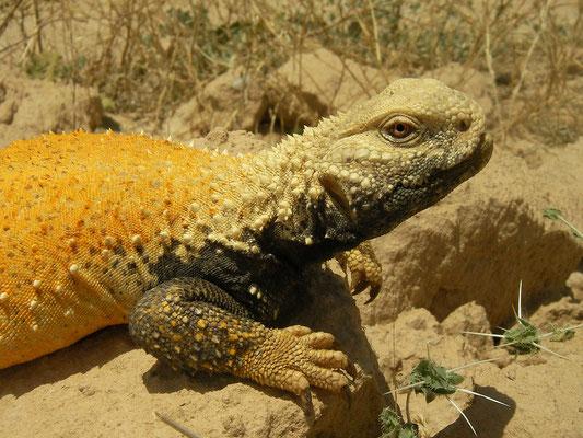 Mesopotamian Spiny-tailed Lizard (Saara loricata)