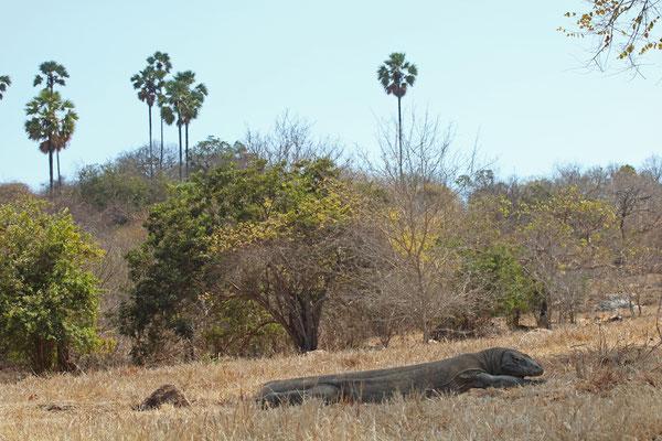 Huge Komodo Dragon (Varanus komodoensis) resting in the shade.