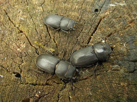 Lesser Stag Beetles (Dorcus parallelipipedus) are still quite common in some areas.