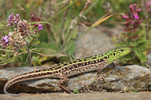 Sand Lizards (Lacerta agilis brevicaudata) male