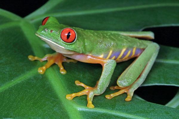 Taylor's Red-eyed Treefrog (Agalychnis taylori)