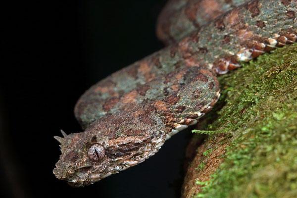 Eyelash Palm Pitviper (Bothriechis schlegelii)
