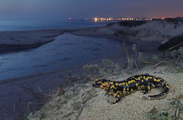 Fire Salamander (Salamandra salamandra gallaica) in its coastal dune habitat.