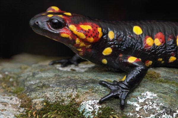Fire Salamander (Salamandra salamandra morenica)