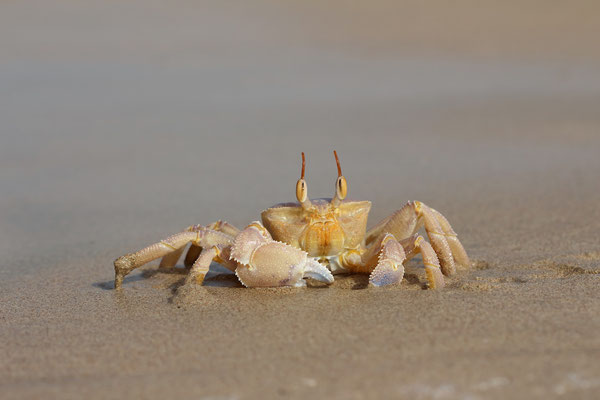 Ghost Crab (Ocypoda sp.)