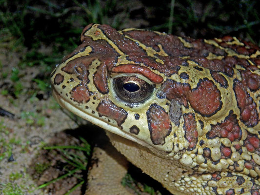 Berber Toad (Sclerophrys mauritanica)