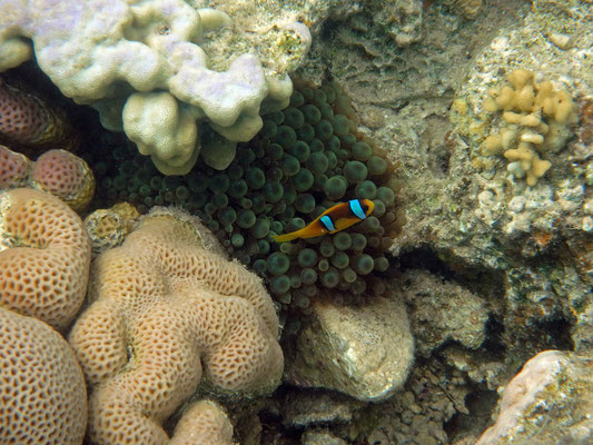 Found him! Red Sea Clownfish (Amphiprion bicinctus)