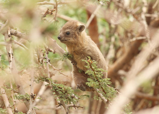 Rock Hyrax (Procavia capensis) youngster