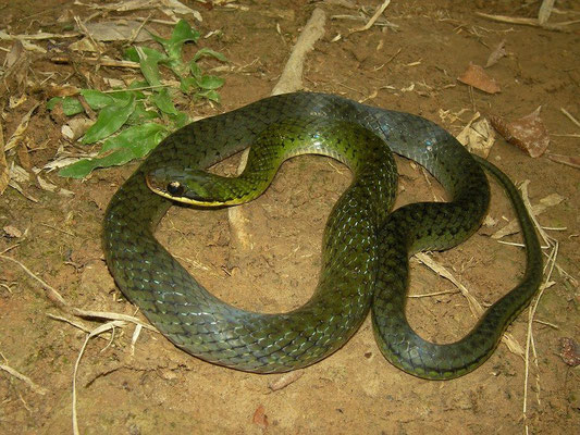 common swamp snake (Erythrolamprus reginae)