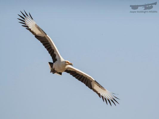Palm-nut Vulture (Gypohierax angolensis)