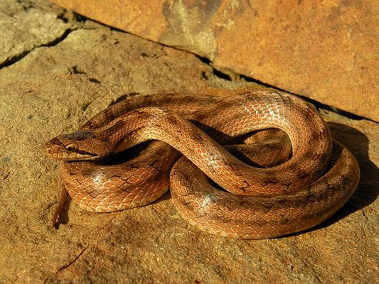 Southern Smooth Snake (Coronella girondica), Huelva, Spain, December 2010