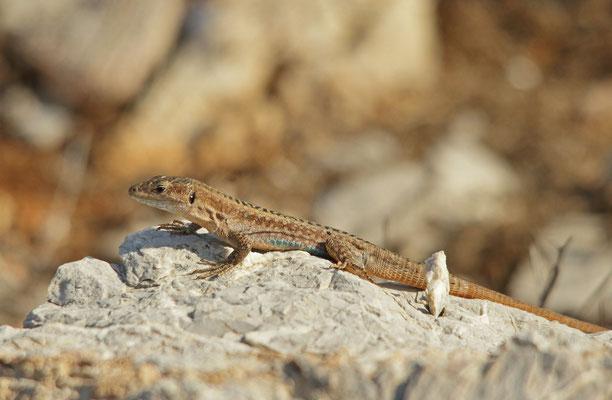 Pori Wall Lizard (Podarcis levendis)