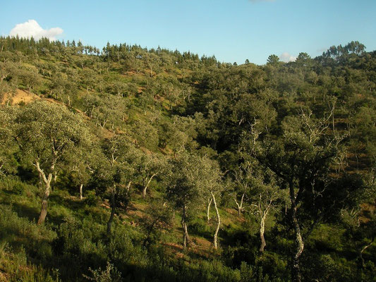 Beautiful open Cork Oak forest, habitat of Fire Salamander and Maria's Worm Lizard.