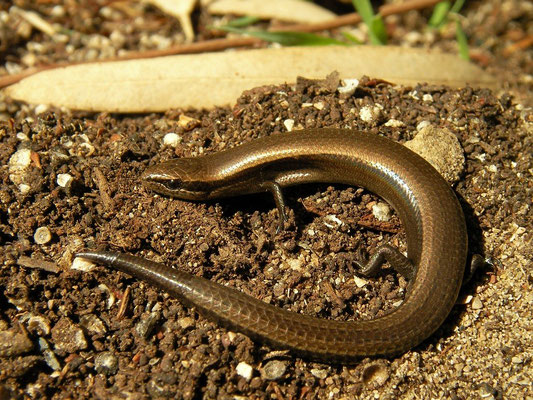 Snake-Eyed Skink (Ablepharus kitaibelii), Kaiafa, Peloponnese, October 2012