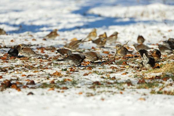Fieldfares (Turdus pilaris) foraging