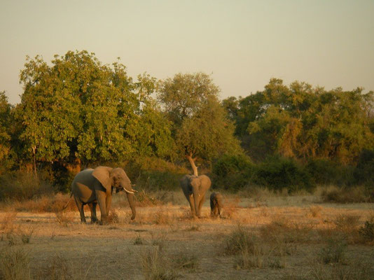 African Elephants (Loxodonta africana) having dinner