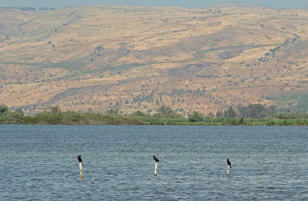 Pygmy Cormorants (Microcarbo pygmeus) drying their feathers with the Golan Heights in the background.