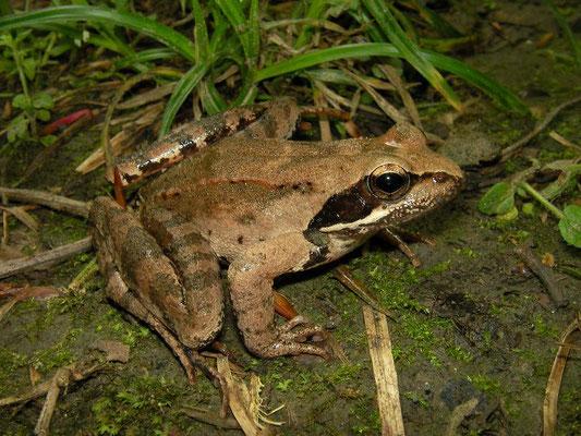 Iranian Wood Frog (Rana pseudodalmatina)