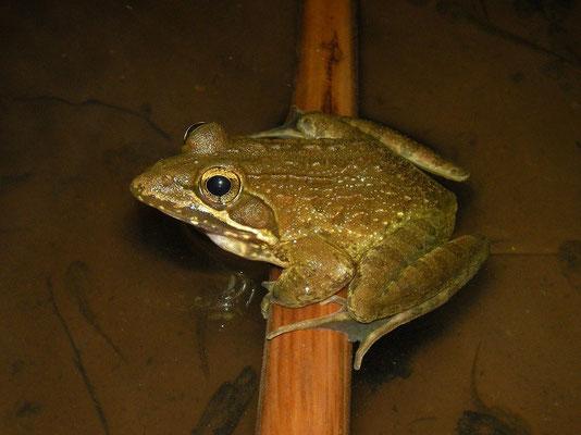 Angola River Frog (Amietia angolensis)