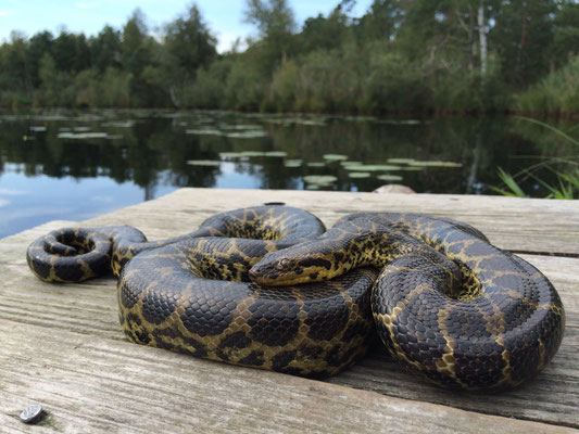Yellow Anaconda (Eunectes notaeus)