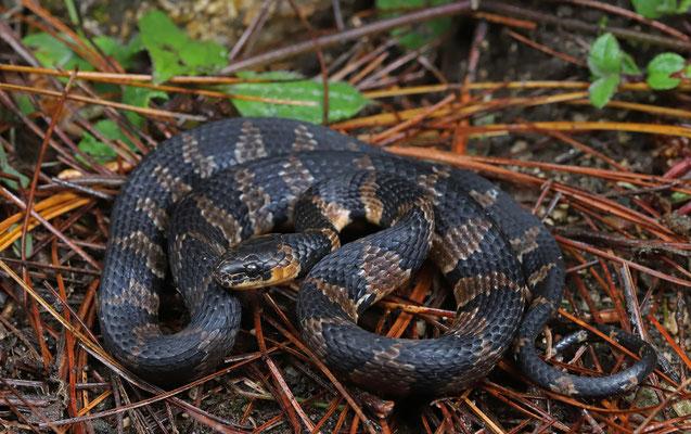 Fischer's Snail-eating Snake (Tropidodipsas fischeri)