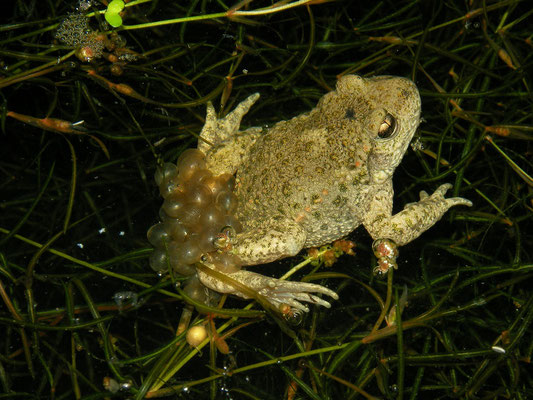 Midwife Toad (Alytes obstetricans) depositing larvae.