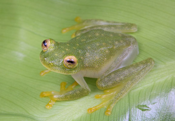 Northern Glass Frog (Hyalinobatrachium fleischmanni)