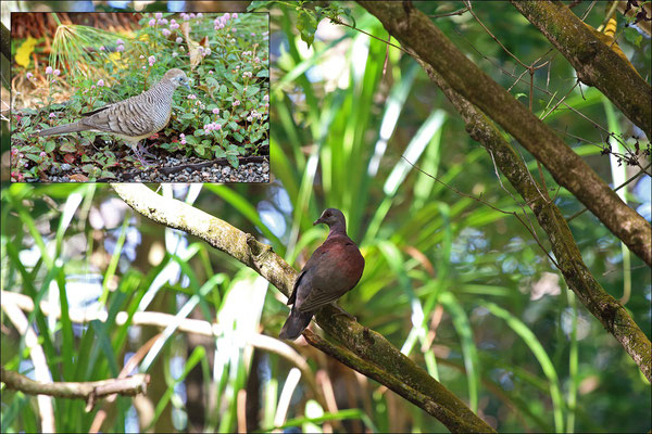 Two other widespread pigeon species, the introduced Barred Ground Dove (Geopelia striata) and the Malagasy Turtle Dove (Streptopelia picturata).